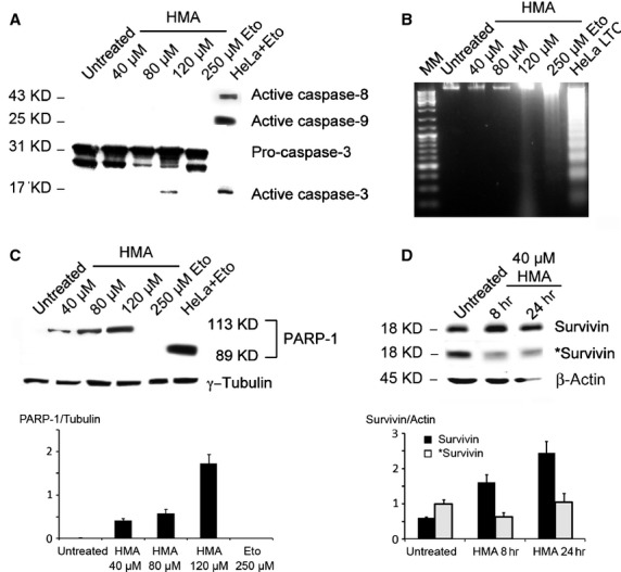 Analysis of caspase-dependent apoptosis in ARPE-19 cells treated with HMA. ( A ) ARPE-19 cells were treated with different HMA concentrations (40–120 μM) for 24 hrs and then analysed using Western blot. Etoposide (250 μM), administered for 24 hrs, was used as an internal standard. As a positive control for apoptosis, HeLa cells were treated with 100 μM etoposide for 3 hrs followed by 24 hrs of recovery in drug-free medium. The activation of caspases 3, 8 and 9 was investigated. Only caspase 3 was slightly activated in 120 μM HMA treated cells. ( B ) ARPE-19 cells were treated for 24 hrs with HMA (40–120 μM); 250 μM etoposide administered for 72 hrs was used as a pro-apoptotic drug. Long-term cultured (LTC) HeLa cells were used as a positive control for apoptosis. Nuclear DNA was extracted and loaded on a 1.8% agarose gel stained with ethidium bromide. No DNA degradation was visible in untreated cells or in cells treated with HMA 40 or 80 μM. A smear was observed in cells treated with 120 μM HMA and a faint ladder is seen in etoposide-treated ARPE-19 cells. ( C ) Upper panel. Western blot analysis of PARP-1 proteolysis was performed on untreated, HMA- or etoposide-treated ARPE-19 cells. HeLa cells treated with etoposide were used as a positive control. γ-Tubulin was used as a loading control. 113 kD: full length PARP-1; 89 kD: cleaved PARP-1. Lower panel shows a quantification of the expression of full length PARP-1 compared to γ-tubulin. At the used loading of proteins on the gel PARP-1 is not detectable in untreated or etoposide-treated cells, but its expression increases with HMA concentration. All the represented means are different from each other as calculated from a one way anova test ( P