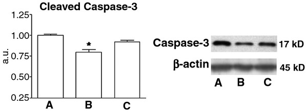 Representative blots and mean levels of the apoptotic factor, cleaved Caspase-3 after hypoxia/reoxygenation (H/R). (A) MSC control group (B) MSC treated with FN-PAM-VEGF and (C) MSC treated with free-VEGF-A. We normalized the expression of cleaved Caspase-3 for each condition to its matched loading control β actin and then where normalized with respect to the mean values of MSC. It can be appreciated a decrease of cleaved Caspase levels in FN-PAM-VEGF group only. * P