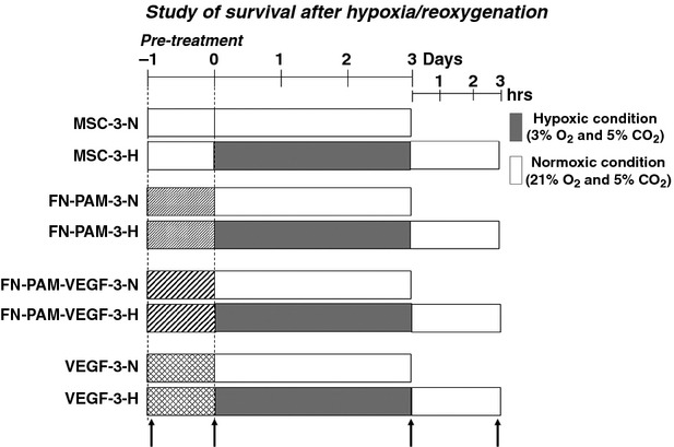 Time-lines and protocols for experimental groups in hypoxia/reoxygenation. Timing of various interventions is shown in relation to the onset of cell culture. Mesenchymal stem cells (MSCs) were kept under standard conditions for 1-day, then they were subjected to 3-days hypoxia and 3-hrs reoxygenation. Fibronectin-coated pharmacologically-active-microcarriers (FN-PAM), FN-PAM incorporating VEGF-A (FN-PAM-VEGF) or free VEGF-A were added at time 0. For comparative purpose we considered normoxic (-N) and hypoxic (-H) protocols. Assessments were performed after 30-min. from the beginning of treatments and then before and after hypoxia, and at the end of reoxygenation (upwards arrows). For other acronyms see also the text.