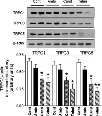 Effect of candesartan or telmisartan but not amlodipine on TRPC expression in mesenteric arterioles. Long-term administration of angiotensin AT1 receptor antagonist telmisartan or candesartan, but not of calcium channel blocker amlodipine reduces TRPC1, TRPC3 and TRPC5 channel protein expression in vivo. The angiotensin AT1 receptor antagonist telmisartan (5 mg/kg per day) or candesartan (4 mg/kg per day), calcium channel blocker amlodipine (10 mg/kg per day), or placebo were administered to SHR by gavage for 16 weeks. Representative immunoblottings of TRPC channel protein expressions in mesenteric arterioles from treated SHR (Fig. 7A) and summary data are shown (Fig. 7B). * P