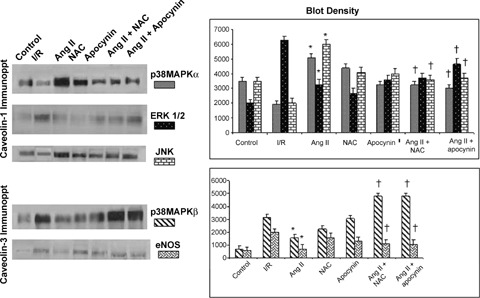 Differential interaction of p38MAPK, JNK, ERK 1/2 and eNOS with caveolin-1 and caveolin-3 during ischaemia reperfusion, Ang II precondition in presence or absence of NAC or apocynin.The results are mean ± SEM of six animal per group * P