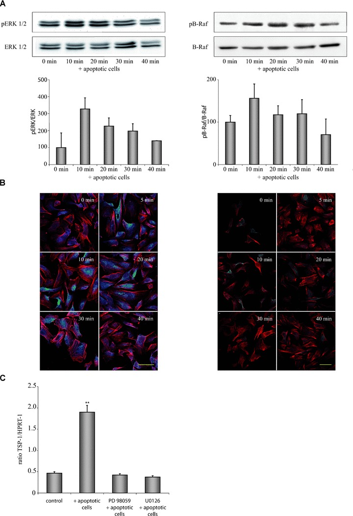 Apoptotic cell-induced expression of TSP-1 in HUVEC is mediated by the <t>B-Raf/MEK/ERK</t> pathway. (A) Exposure of HUVEC to apoptotic eEND2 cells led to a rapid activation of <t>ERK1/2</t> (left) and B-Raf (right). Changes in phosphorylation were determined by calculation of the ratio of phosphorylated to unphosphorylated ERK1/2 or B-Raf protein, respectively ( n = 6). (B) Immunocytochemical staining of pERK1/2 and pB-Raf in HUVEC exposed to apoptotic eEND2 cells. Cells were counterstained with phalloidin-Alexa546 and analysed by confocal microscopy. Shown are representative micrographs of three independent experiments. Scale bars represent 50 μm. (C) Inhibition of ERK phosphorylation by U0126 or PD98059 circumvented apoptotic cell-induced enhanced TSP-1 expression in HUVEC as assessed by real-time qPCR measurement ( n = 4; ** P
