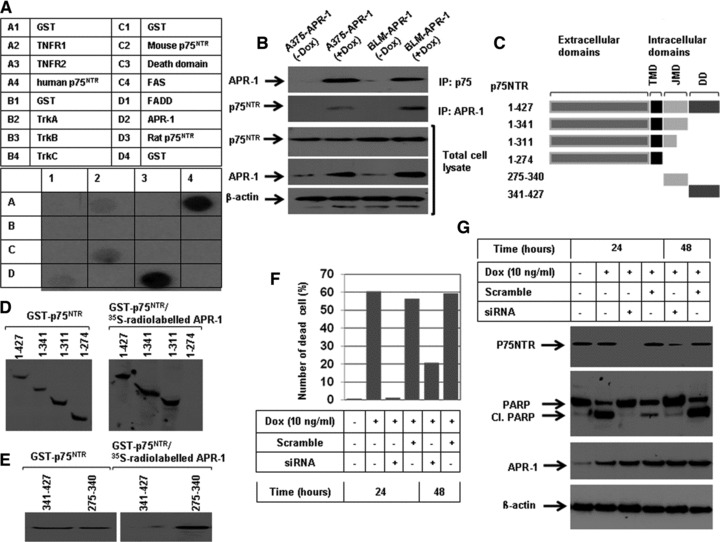(A) Dot blots analysis of the interaction of APR-1 protein with TNFR1 human p75NTR, mouse p75NTR, FADD and rat p75NTR. A total of 5 μg of glutathione S -transferase (GST)-TNFR1 (100.0 pmol), TNFR2 (111.0 pmol), human p75NTR (106.4 pmol), mouse p75NTR (106 pmol), FADD (92.6 pmol), TrKA (113.6 pmol), TrKB (113.6 pmol), TrKC (113.6 pmol), Fas 142.8 pmol), death domain (142.8 pmol), APR-1 (100 pmol), rat p75NTR (106 pmol) or GST (192.0 pmol) were diluted in PBS and blotted onto nitrocellulose membrane and subsequently incubated overnight with in vitro transcribed and translated [ 35 S] APR-1 protein. (B) Interaction of APR-1 with P75NTR. The total cell lysates prepared from A375-APR-1 and BLM-APR-1 before and after the induction of APR-1 protein were subjected for either electrophoresis (for the detection of APR-1 and P75NTR) or for co-immunoprecipitation (IP) with either anti-P75NTR antibody or with anti-APR-1 antibody. Western blotting of IP: p75NTR for APR-1 revealed the interaction of APR-1 to P75NTR, whereas Western blotting of IP: APR-1 for P75NTR revealed the interaction of P75NTR to APR-1. β-actin was used as internal control for loading and transfer. (C) Schematic diagram of the extracellular and intracellular domains of p75NTR. Transmembrane domain, JMD and death domain. (D) GST-P75NTR recombinant proteins 1–427aa (106.4 pmol), 1–341aa (135.1 pmol), 1–311aa (147 pmol), 1–274 aa (166 pmol), 275–340aa (694.3) and 341–427aa (526.2 pmol), were separated by SDS-PAGE, and blotted on PVDF membrane and probed with in vitro transcribed and translated [ 35 S] APR-1. The interaction of APR-1 with the P75NTR domains was detected by exposing the membrane to X-ray films. The coomassie-stained gel shows the amount and the position of P75NTR recombinant proteins (left panel). (E) GST-JMD and death domain of P75NTR were separated by SDS-PAGE, and blotted on PVDF membrane and probed with in vitro transcribed and translated [ 35 S] APR-1. The interaction of APR-1 with both domains was detected by exposing the membrane to X-ray films. The coomassie-stained gel shows the amount of both JMD and death domains (left panel). (F) Western blot analysis demonstrates the expression of APR-1 by the addition of Dox to the culture medium of BLM-APR- 1, the knockdown of p75NTR by its specific siRNA and the suppression of APR-1-induced cleavage of PARP by the p75NTR siRNA. β-actin was used as internal control for loading and transfer. (G) Analysis of cell viability by counting using trypan blue staining. Rescue of APR-1-induced reduction of cell viability by the knockdown of p75NTR by siRNA for 24 or 48 hrs. Data are mean of three experiments performed separately.