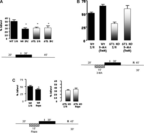 (A) Mice lacking STAT1 (STAT1 −/− ) showed significantly smaller infarct areas than wt littermates when subjected to ex vivo I/R. (B) Inhibiting autophagy using 3-methyladenine (3-MA, 5 nM) in STAT1 −/− hearts abrogated the protective effects of STAT1. 3-MA treatment also enhanced the infarct size in wt animals. (C) Pre-treatment with the mTOR inhibitor, rapamycin (Rapa, 5 nM), followed by ex vivo I/R reduced infarct size in wt animals suggesting activation of autophagy elicits cardioprotective effects.