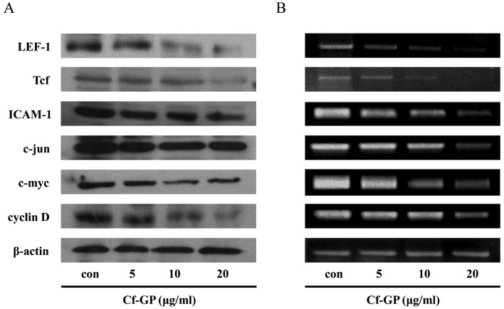 Effects of Cf-GP on the expression levels of Tcf, LEF-1, ICAM-1, c-jun, c-myc and cyclin D. Cells were treated with Cf-GP (5, 10 or 20 μ g/ml) for 24 h. Gene expression was determined by western blot analysis and RT-PCR. (A) Western blot analysis using anti-Tcf, anti-LEF-1, anti-ICAM-1, anti-c-jun, anti-c-myc, anti-cyclin D and anti-β-actin antibodies. SDS-PAGE was performed on acrylamide gel. (B) cDNA and primers were synthesized. PCR was then performed at the indicated annealing temperatures. Reaction products were electrophoresed on a 1% agarose gel and visualized with RedSafe reagent.