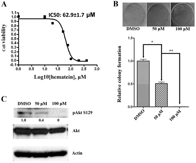 Hematein inhibits cells growth, and inhibits Akt phosphorylation in A427 lung cancer cells. (A), A427 lung cancer cells were cultured in the absence and in increasing concentrations of hematein (10–100 μ M) as indicated. Cellular viability (normalized to DMSO control) was measured after 48 h using CellTiter-Glo ® Luminescent cell viability assay. Data points represent the average of IC50 value of hematein in triplet experiments and bars indicate SD. (B), After incubation with indicated concentrations of hematein for 2 weeks, colonies of A427 lung cancer cells were stained with 0.1% crystal violet, and colonies greater than 50 cells were counted. Results are expressed as relative colony formation: percentage of the number of colonies relative to the control group. Data represent the average of three independent experiments and bars indicate SEM. * p=0.0006, ** p=0.0001. (C), Phosphorylated Akt (Ser 129) was measured by western blot analysis. β-actin was used as an internal loading control. Band quantification was obtained by ImageJ software. Values are reported below each band and normalized to DMSO control.