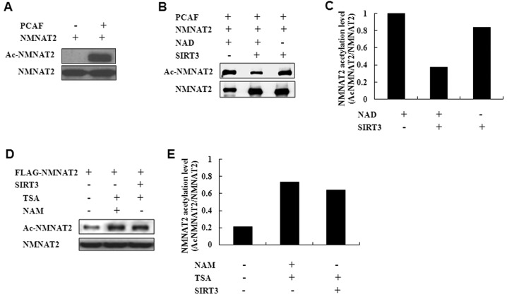 SIRT3 deacetylates NMNAT2 under in vitro and in vivo assay conditions. (A) In an acetylation buffer Flag-NMNAT2 was incubated with PCAF and acetylation of protein was determined by western blotting with antiacetyllysine antibody. (B) Deacetylation of NMNAT2 by SIRT3 in vitro . Flag-NMNAT2 was acetylated in vitro with PACF and it was precipitated with Flag M2 beads. Acetylated Flag-NMNAT2 was then incubated with beads containing SIRT3 in a deacetylation buffer with or without NAD. SIRT3 was immunoprecipitated from stable A549 cells. (C) Quantification of NMNAT2 deacetylation by SIRT3. (D) In vivo deacetylation of NMNAT2 by SIRT3. Stable cells expressing SIRT3 were induced to overexpress with Flag-NMNAT2 and treated with NAM (10 mM for 24 h) and/or TSA (5 μ M for 6 h) as indicated. Flag-NMNAT2 was immunoprecipitated and the level of acetylation was analyzed by immunoblotting with antiacetyllysine antibody. (E) Quantification of NMNAT2 deacetylation by SIRT3 in vivo . Values are means of three experiments. All data are presented as the mean ± SEM.