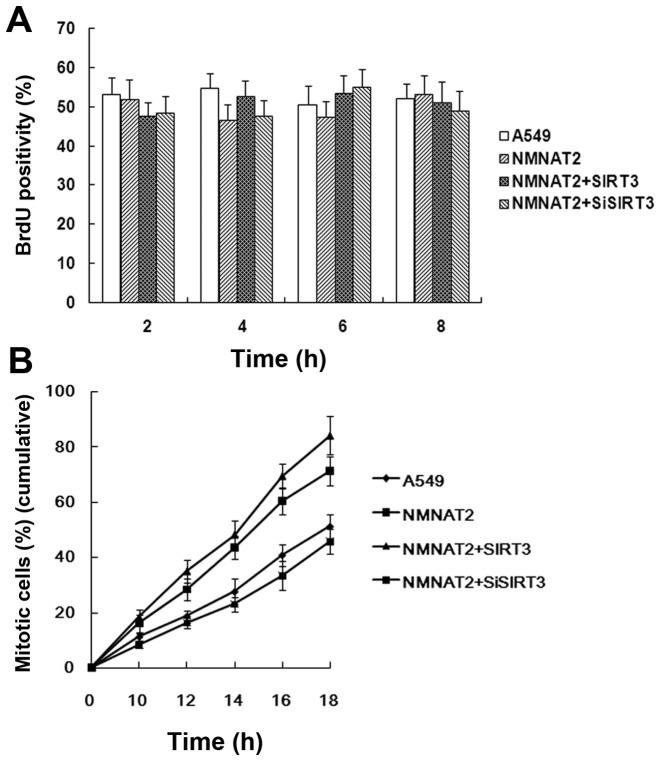 Interaction of NMNAT2 with SIRT3 promotes mitotic entry of A549. (A) Interaction of NMNAT2 with SIRT3 did not affect DNA synthesis. A549 cells were transfected with plasmids and synchronized at the G1/S transition as described in Materials and methods. Cells were pulse-labeled with BrdU (50 μ M) for 30 min at indicated time-points after release from the second thymidine block. BrdU positive cells were detected by immunostaining and scored manually. More than 500 cells were counted in each of the three experiments. (B) Interaction of NMNAT2 with SIRT3 promoted mitotic entry. Cell cycle progression of > 1,000 cells was recorded by time-lapse videomicroscopy. The number of mitotic cells was scored by examination of individual cells. Values are means of three experiments. All data are presented as the mean ± SEM.