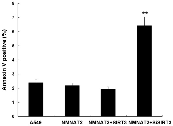 Interaction of NMNAT2 with SIRT3 inhibited apoptosis of A549 cells. The result showed that the apoptosis of A549 cells transfected with NMNAT2 or NMNAT2+SIRT3 was less than in A549 cells (P > 0.05). The apoptosis of cells were significantly promoted by interfering SIRT3 (P