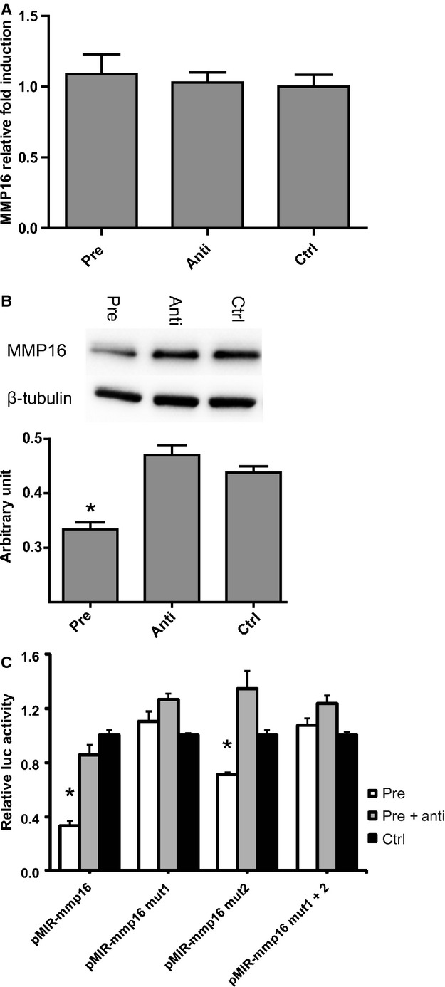 MMP-16 expression in miRNAs transfected hCMPCs, on mRNA level (A) and on protein level (B), as demonstrated by western blotting, including densitometric quantification. Luciferase activity of either pMIR-REPORT vector, containing a part of the 3′-UTR of MMP-16 (pMIR MMP-16) or containing the MMP-16 3′-UTR with seed-mutated targets sites 1, 2 or both (C). Data are presented as mean ± S.E.M., N = 4 and * P