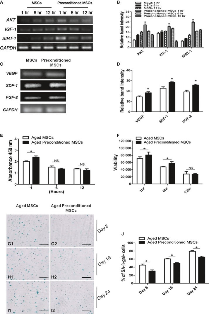 Pre-conditioning of Aged MSCs. (A) RT-PCR analysis for the expression of AKT, IGF-1 and SIRT-1 in aged control and pre-treated MSCs. (B) Gel quantification of RT-PCR bands. (C) Gene expression of VEGF , SDF-1 and FGF-2 after 1 hr of pre-conditioning. (D) Gel quantification of all genes using Image J software. (E) Effect of caloric restriction on cell proliferation of aged MSCs. Absorbance was measured at 450nm and was higher in 1 hr pre-treated group. (F) Cell viability assay performed in a luminometer. The results showed a significant increase in viability of aged MSCs after 1 and 6hr pre-treatment compared with untreated aged MSCs. (G–I) Senescence associated β-galactosidase staining after 8, 16 and 24 days. (G1 and G2) after 8 days, (H1 and H2) after 16 hrs, (I1 and I2) after 24 hrs. (J) Percentage expression of senescence associated β-gal. The number of β-gal positive cells was significantly higher in aged untreated MSCs than aged pre-treated MSCs. The values are expressed in mean ± SEM. * P