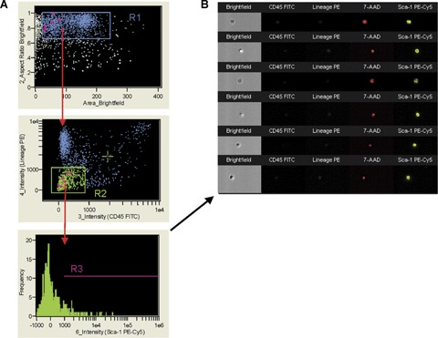 Identification of VSELs by ImageStream system. The ImageStream system software (IDEAS) identified Sca-1 + /Lin − /CD45 − ( A ) and visualized an image gallery of the objects identified by this phenotype ( B ). BMMNC were stained for CD45, Sca-1 and Lin markers, fixed with paraformaldehyde solution and analysed. Signals from CD45-FITC, Lin-PE, 7-AAD and Sca-1-PE-Cy5 were collected by channels 3, 4, 5 and 6, respectively. Side scatter and brightfield were detected by channels 1 and 2, respectively. The dot-plot ( A ) shows all objects according to area of brightfield (Ch2), related to size of objects (X-axis) and aspect ratio of brightfield related to shape of objects (Y-axis). The aspect ratio was calculated based on brightfield as the ratio of cellular minor axis (width) to major axis (height). Round, non-elongated cells have aspect ratio close to 1.0, while the elongated cells or clumps had lower aspect ratio. When applied to bone marrow cells, region R1 encloses mostly single, round objects resembling cells. Subsequently, objects from region R1 are visualized according to their CD45 and Lin expression (X- and Y- axis, respectively; A , middle dot-plot). CD45 − /Lin − objects were included into region R2 and further analysed based on Sca-1 expression ( A , lower histogram). ( B ) shows the image gallery of nucleated objects included into region R3 and defined as Sca-1 + /Lin − /CD45 − . Cells were fixed before staining with 7-AAD.