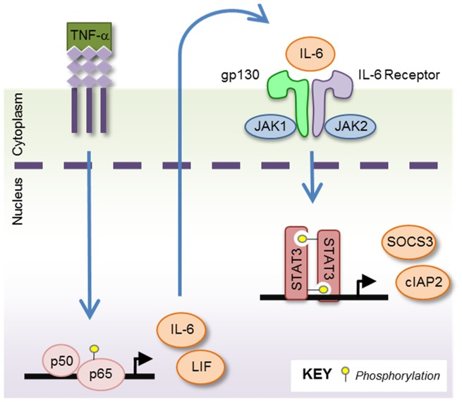 Signaling Schematic Illustrating the Cycle of Cooperation Between NF-κB and STAT3. NF-κB and STAT3 are competent to ensure activation of themselves and each other, either in an autocrine and/or paracrine manner. Upon stimulation with TNF-α, the NF-κB pathway becomes activated, as shown by the phosphorylation and nuclear translocation of NF-κB p65 and transcription of NF-κB genes, including IL-6 and LIF. Newly synthesized IL-6 is secreted by the cells, and binds in an autocrine or paracrine manner to the IL-6 receptor. This leads to activation of the IL-6R/gp130 complex and the intracellular kinases JAK1/2. STAT3 proteins then become phosphorylated by JAK1/2, dimerize, enter the nucleus and begin the transcription of STAT3 driven genes such as SOCS3 and cIAP2.