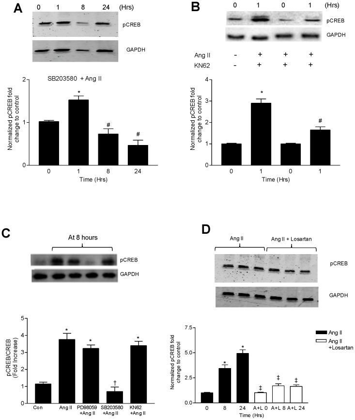 p38MAPK and Ca ++ /CaMK pathways mediate CREB phosphorylation induced by Ang II. Representative immunoblots showing the effect of (A) pretreatment with SB203580 (10 µM) followed by Ang II (100 nM) activation on p-CREB levels over a specified time course. (B) pretreatment with KN62 (10 µM) followed by Ang II (100 nM) at 1 hour on the phosphorylation of CREB. (C) CATH.a cells were preincubated for 30 minutes with PD98059 (25 µM), SB203580 (20 µM) and KN62 (10 µM) followed by Ang II (100 nM) for 8 hours. Cell lysates were immunoblotted for p-CREB. (D) Cells were preincubated with or without Losartan (1 µM) followed by Ang II (100 nM) for 8 hours. At the end of the specified time period, cell lysates were tested for p-CREB levels by western blot. *p