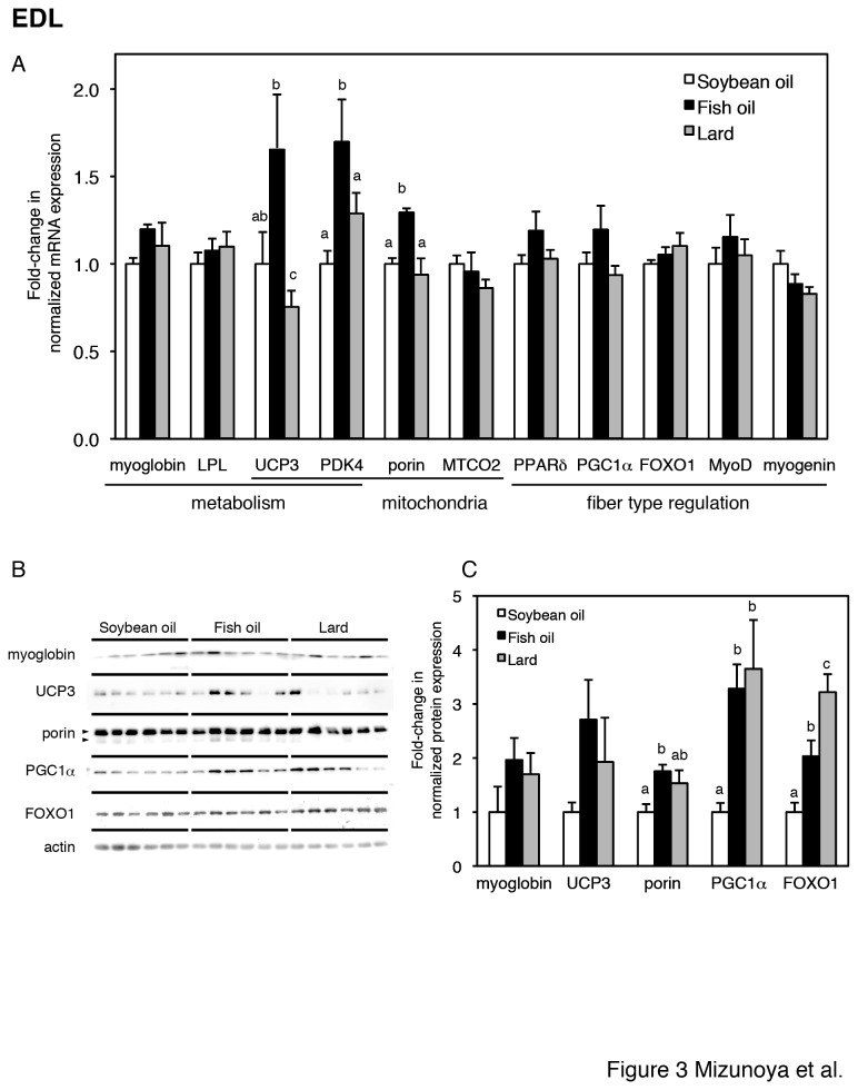 Gene and protein expression in the EDL muscle (A–C). (A) Relative expression levels of genes for energy metabolism (myoglobin, LPL, UCP3, PDK4), mitochondrial proteins (porin, MTCO2, UCP3 and PDK4), and transcription factors (PPARδ, FOXO1, MyoD, myogenin) and a coactivator (PGC1α) for muscle fiber type regulation in EDL muscles from soybean oil-fed (open bars), fish oil-fed (filled bars), and lard-fed (gray bars) rats. Each gene was normalized to β-actin mRNA. Values are expressed as fold changes compared with the soybean oil-fed group. (B) Protein expression levels of fiber type-related markers (myoglobin, UCP3, porin, PGC1α, and FOXO1) and loading control (actin) in the EDL, with densitometry quantification in panel C. The two arrowheads in porin indicate two porin species at 32 and 36 kDa [51], which were summed in panel C. The values are means ± SE for six rats. Different superscripts indicate a significant difference between two groups (p