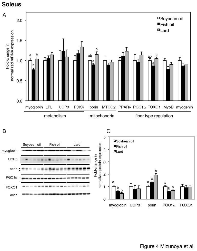 Gene and protein expression in the soleus muscle (A–C). (A) Relative expression levels of genes for energy metabolism (myoglobin, LPL, UCP3, PDK4), mitochondrial proteins (porin, MTCO2, UCP3 and PDK4), and transcription factors (PPARδ, FOXO1, MyoD, myogenin) and a coactivator (PGC1α) for muscle fiber type regulation in soleus muscles from soybean oil-fed (open bars), fish oil-fed (filled bars), and lard-fed (gray bars) rats. Each gene was normalized to β-actin mRNA. Values are expressed as fold changes compared with the soybean oil-fed group. (B) Protein expression levels of fiber type-related markers (myoglobin, UCP3, porin, PGC1α, and FOXO1) and loading control (actin) in the soleus, with densitometry quantification in panel C. The two arrowheads in porin indicate two porin species at 32 and 36 kDa [51], which were summed in panel C. The values are means ± SE for six rats. Different superscripts indicate a significant difference between two groups (p