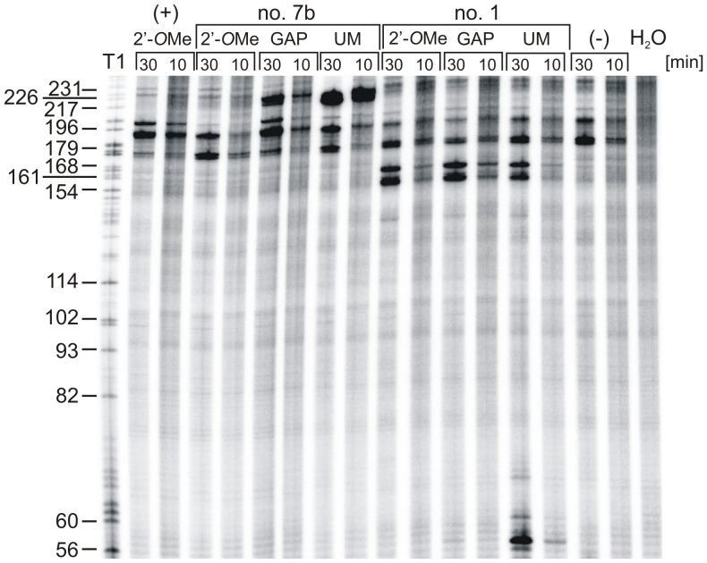 RNase H assay in rabbit reticulocyte lysate in the presence of antisense oligomers no. 1 and 7b targeted to ΔNp53utr RNA. The 5′-end-[ 32 P]-labelled ΔNp53utr-Luc RNA was incubated in RRL and subsequently antisense oligomers no. 1 and no. 7b in their unmodified (UM) and modified (2′- O Me or GAP) form were added to the mixture. After 10 and 30 min incubation at 30°C, RNA was isolated and resolved on 8% polyacrylamide gel in denaturing conditions. The ΔNp53utr-Luc RNA was also subjected to limited hydrolysis by RNase T1 in denaturing conditions to determine the positions of RNase H cleavages. Lanes (−) and H 2 O indicate control reactions in the absence of antisense nucleotide in RRL and water, respectively. Lane (+) denotes the reaction in the presence of a control antisense oligonucleotide which is complementary to the Firefly luciferase sequence.