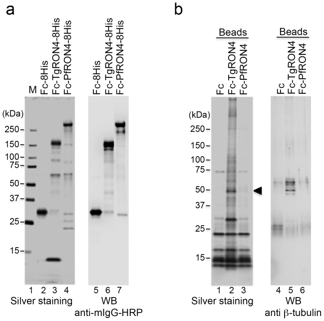 Identification of TgRON4-binding host proteins. (a) Recombinant proteins expressed using the baculovirus expression system and purified on Ni-NTA agarose. Each protein (50 ng) was separated by 5%–20% gradient SDS-PAGE and subjected to silver staining (lanes 2–4). The molecular masses (kDa) are indicated on the left. Immunoblotting with an HRP-conjugated anti-mouse Fc antibody of purified recombinant proteins (lanes 5–7). (b) Each Fc-fusion protein was crosslinked to protein G magnetic beads and incubated with membrane proteins from 293 T cells. The eluate was separated by SDS-PAGE followed by silver staining (lanes 1–3). The arrowhead indicates a 50-kDa band that is specific for incubation with TgRON4-linked beads. Immunoblotting of the eluates with an anti-β-tubulin antibody (lanes 4–6).