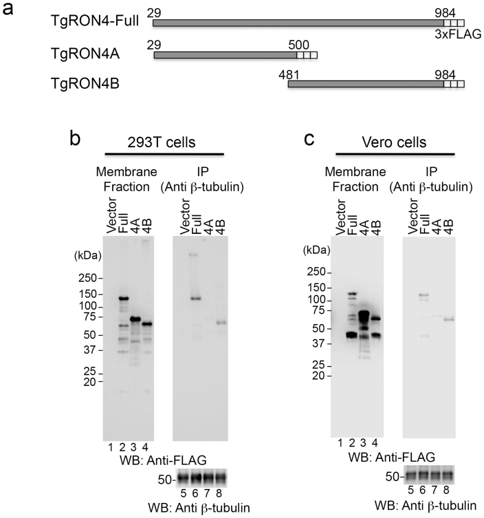 The C-terminal half of TgRON4 binds to host β-tubulin. (a) Schematic representation of TgRON4 and its deletion mutants. (b), (c) Coimmunoprecipitation of β-tubulin with deletion mutants of 3xFLAG-tagged TgRON4. 293 T (b) and Vero (c) cells were transiently transfected with the indicated TgRON4 expression plasmids. Membrane fractions were immunoprecipitated with an anti-β-tubulin antibody. The membrane fractions (3.3% input) and immunoprecipitates (IP) were analyzed by Western blotting with anti-FLAG and anti-β-tubulin antibodies.