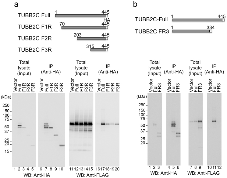 Identification of the TgRON4-binding region in TUBB2C. (a), (b) Upper: Schematic representation of TUBB2C and its N- and C-truncated mutants. Lower: The indicated HA-tagged TUBB2C proteins were coexpressed with 3xFLAG-tagged TgRON4B. The cell lysates were immunoprecipitated with an anti-HA antibody. The cell lysates and immunoprecipitates (IP) were analyzed by Western blotting with anti-HA and anti-FLAG antibodies. Owing to low expression, transient transfection of TUBB2C FR3 was scaled up ( see Methods ).
