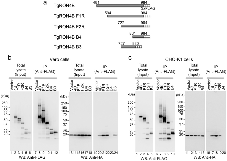 Identification of the TUBB2C-binding region in TgRON4. (a) Schematic representation of TgRON4B and its deletion mutants. (b), (c) The indicated 3xFLAG-tagged RON4 proteins were coexpressed with HA-tagged TUBB2C F3R in Vero and CHO cells. The cell lysates were immunoprecipitated with an anti-FLAG antibody. The cell lysates and immunoprecipitates (IP) were analyzed by Western blotting with anti-HA and anti-FLAG antibodies.