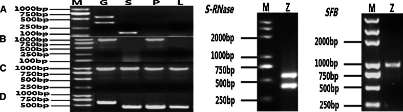 PCR amplification of S - RNase and SFB alleles from 'Zaohong' and expression analysis for PmS - RNase ( a ), PmSFB ( b ), PmF - box genes ( c ) and Actin genes ( d ) in pollen ( P ), styles ( S ), and leaves ( L ). M is DNA marker, Z is Zaohong and G is genomic DNA. a RT-PCR of S - RNase alleles. b RT-PCR of SFB alleles. c RT-PCR of PmF - box alleles. d RT-PCR of Actin genes
