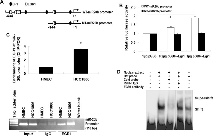 """EGR1 regulates miR-20b transcription (A) The wild-type and mutant miR-20b promoter reporters used in this project. (B) HEK293 cells were transiently transfected with pGL3-WT-miR20b-Prom or pGL3-MT-miR20b-Prom and pCB6-Egr1 or pCB6; luciferase activity was detected according to the manufacturer's instruction. (C) Real-time ChIP-PCR and conventional ChIP-PCR were performed as described in """"Materials and Methods"""". (D) Nuclear extracts were prepared from HCC1806 cells, and EMSA was performed using ChIP-grade antibody to EGR1 according to the manufacturer's instruction. The asterisk indicates p"""