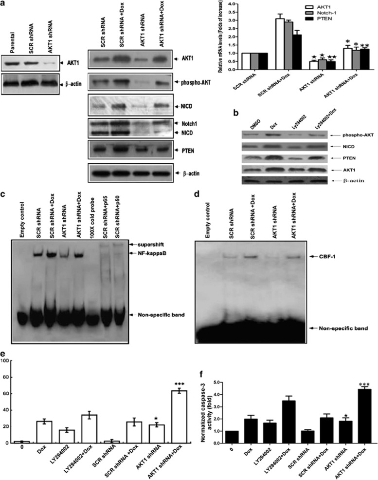 AKT1 regulated Notch-1 and PTEN expression through NF κ B and had an anti-apoptotic role in gastric cancer cells. ( a ) Lysate from MKN-28 cells (parental), MKN-28 cells expressing lentiviral scramble shRNA (SCR shRNA), or lentiviral AKT1 shRNA were analyzed by anti-AKT1 blotting. The MKN-28 cells expressing lentiviral SCR shRNA or lentiviral AKT1 shRNA were treated with PS or 3 μ M doxorubicin for 12 h, respectively. The protein and mRNA levels of AKT1, Notch1 and PTEN were detected by immunoblotting and real-time RT-PCR. Immunoblotting results of β -actin were used to show equal loading. Values are the mean±S.D. from three different experiments. ★ P