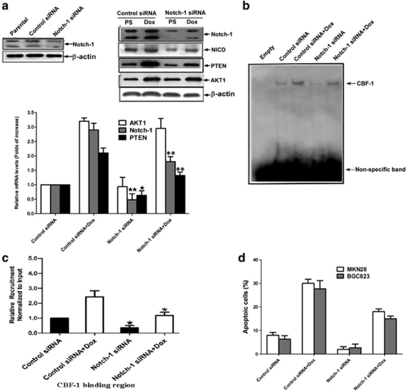 Notch1 regulated PTEN expression through CBF-1 and had a pro-apoptotic role in gastric cancer cells. ( a ) Lysate from MKN-28 cells (parental), MKN-28 cells transfected with control siRNA or Notch1 siRNA were analyzed by anti-Notch1 blotting. The MKN-28 cells transfected with control siRNA or Notch-1 siRNA were treated with PS or 3 μ M doxorubicin for 12 h, respectively. The protein and mRNA levels of AKT1, Notch1 and PTEN were detected by immunoblotting and real-time RT-PCR. Immunoblotting results of β -actin were used to show equal loading. Values are the mean±S.D. from three different experiments. ★ P