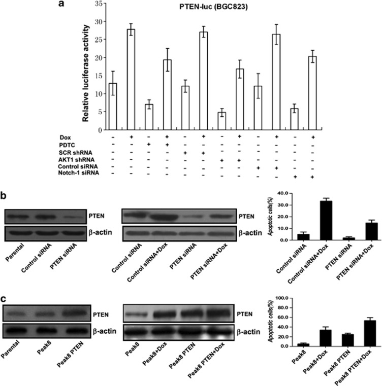 Doxorubicin-induced PTEN expression had a pro-apoptotic function in gastric cancer cells. ( a ) PTEN transactivation was mediated by NF κ B, AKT1, and Notch1. MKN-28 cells were transfected for 9 h with the PTEN-luc reporter construct. Some cells were transfected together with control or Notch1 siRNA. Twenty-four hours later, cells were either left or pretreated with 10 μ M PDTC for 1 h, left untreated or treated with 3 μ M doxorubicin for an additional 12-h period, after which the luciferase activity was determined. The MKN-28 cells expressing lentiviral SCR shRNA or lentiviral AKT1 shRNA were also transfected with PTEN-luc reporter construct followed by treatment with or without 3 μ M doxorubicin, after which the luciferase activity was determined. ( b ) Knockdown of PTEN by siRNA inhibited the basal and doxorubicin-induced cell apoptosis in gastric cancer cells. ( c ) Upregulation of PTEN expression by wild-type PTEN plasmid transfection promoted cell apoptosis in gastric cancer cells
