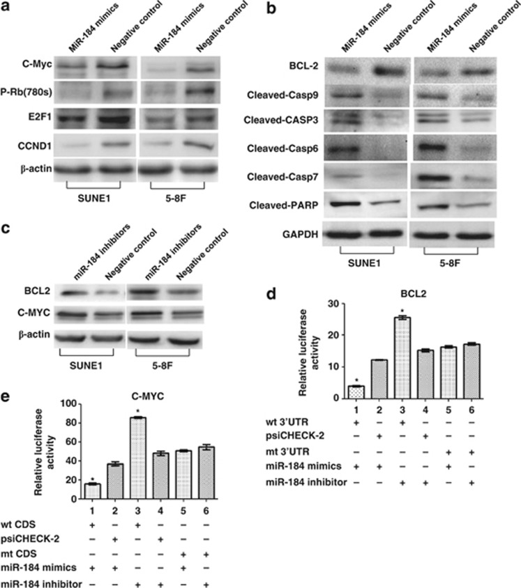 MiR-184 directly targeted BCL2 and C-MYC suppressing cell cycle and stimulating cell apoptosis signals. ( a ) The introduction of miR-184 mimics suppressed the expression of pRB (ser 780), C-MYC, CCND1 and E2F1 in cell cycle. ( b ) Transfection of miR-184 mimics reduced BCL2 expression and induced the cleavage of CASP9, 3, 6, 7 and PARP in apoptosis pathway. ( c ) BCL2 and C-MYC expression was elevated with the transfection of miR-184 inhibitor at 100 nm in NPC SUNE1 and 5-8F cells. ( d ) Luciferase reporter assay was used to determine miR-184 directly targeting the 3′UTR of BCL2. ( e ) Luciferase reporter assay was used to determine miR-184 directly targeting the coding region of C-MYC. Data are presented as mean±S.D. of three independent experiments (* P