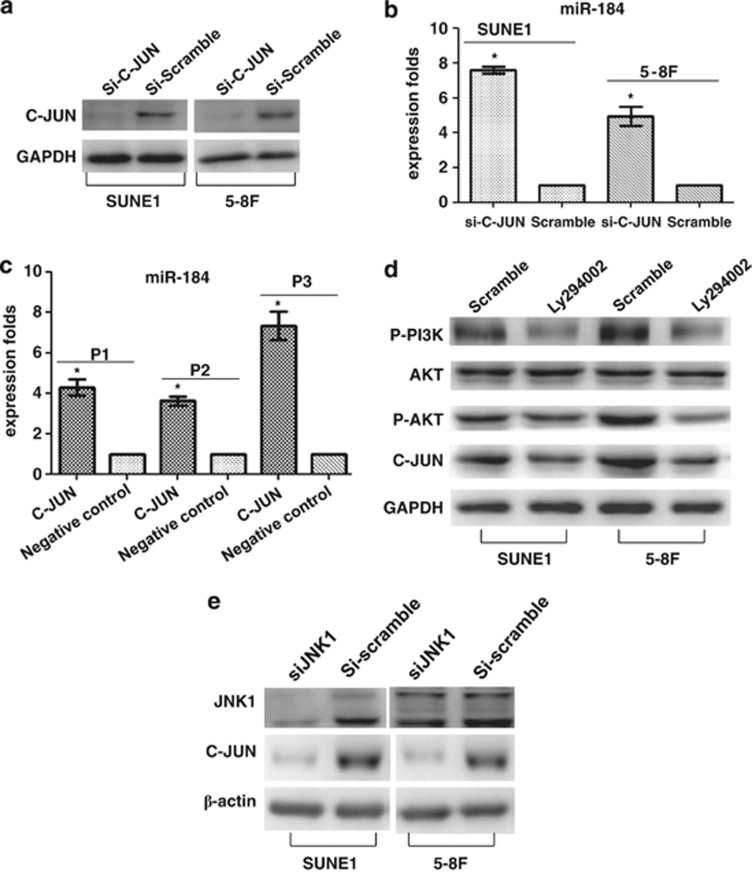 PDCD4 regulated the expression of miR-184 via PI3K/AKT/JNK pathway in NPC. ( a ) siRNAs were used to suppress the C-JUN expression by western blot examination. ( b ) Knocking down C-JUN expression by siRNA stimulated the expression of miR-184 in NPC SUNE1 and 5-8F cells. ( c ) From mock and pcDNA3.1-C-JUN-transfected SUNE1 cells was immunoprecipitated with anti-C-JUN and a normal rabbit IgG. The AP-1 binding sites on the immunoprecipitated DNA was determined by quantitative RT-PCR. Amplification of input chromatin (input) before immunoprecipitation was served as positive controls for chromatin extraction and PCR amplification. Chromatin immunoprecipitation using a non-specific antibody (normal human IgG) served as negative controls. QPCR analysis indicated that C-Jun could bind more miR-184 promoter region than that in control group in NPC SUNE1 cells. (d) Suppressing the expression of PI3K by its specific inhibitor Ly294002 (50 nM) reduced pPI3K, pAKT and C-JUN expression in NPC SUNE1 and 5-8F cells, but did not induce AKT expression change. (e) Knocking down JNK1 suppressed the expression of C-Jun in NPC SUNE1 and 5-8F cells. ( f ) Specific inhibition of JNK1 by siRNA decreased the expression of JNK and C-Jun in NPC cells. Data are presented as mean±S.D. of three independent experiments (* P