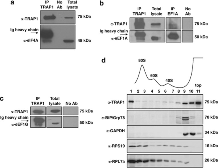 TRAP1 interacts with translation factors and is associated to ribosomes. ( a ), ( b ) and ( c ) Total HCT116 lysates were immunoprecipitated with anti-TRAP1 and anti-eEF1A antibodies and immunoblotted with indicated antibodies. No Ab, total cellular extracts incubated with A/G plus agarose beads without antibody; IP, <t>immunoprecipitation</t> with the corresponding antibodies. ( d ) Separation of cytoplasmic extracts from HCT116 cells was performed by ultracentrifugation on sucrose gradients as described in Materials and Methods. Absorbance profile as well as the signals of ribosomal protein-specific antibodies indicate the fractions containing ribosomal particles (40S, 60S, 80S) whereas larger polysomes were collected in the first fraction. The upper part of the gradient (fractions 9,10,11) includes free cytosolic proteins or light complexes