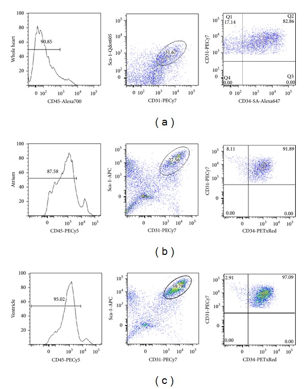 Flow-cytometry analysis of primary isolates of mouse cardiac endothelial cells. After mechanical disaggregation and enzymatic digestion, single cell suspension from murine whole heart (a), atrium (b), and ventricle (c) were incubated with combination of fluorescent-antibody to CD45, Sca-1, CD31, and CD34. Cells were first gated to include only small and low granulated cells from FSC-A and SSC-A dot plot. Hematopoietic cells identified by CD45+ were gated out. Sca-1+/CD31+ were identified as endothelial population. This population was further divided into CD34+ or CD34− endothelial cells.