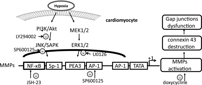 Schematic diagram of the MAPK signaling pathways involved in regulation of Cx43 expression by modulating MMP-9 enzyme. The regulation of Cx43 expression was studied by blocking the pathways of PI3K/Akt or MEK/ERK 1/2 NF-κB or AP-1/c-Jun and MMPs, respectively, with specific inhibitors. The signaling cascades, transcription factors NF-κB and AP-1/c-Jun, and MMPs activity appear to be critical factors in hypoxia-induced disruption of gap junction integrity