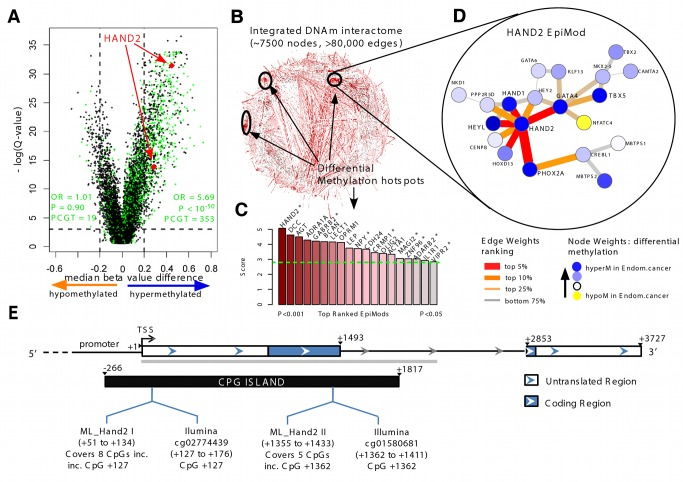 """Discovery of HAND2 methylation as a core feature in endometrial cancer. (A) Volcano plot of epigenome-wide differential DNAme analysis for all 27,578 probes. The x -axis indicates the median β-value difference between the normal and cancerous endometrial samples (median[cancer] – median[normal]), while the y -axis indicates the −log e scale of q -values obtained from a supervised logistic regression analysis testing the association of methylation with normal/cancer status (Set 1). Stem cell PCGT <t>CpGs</t> are highlighted in green, the two HAND2 CpGs in red. 353 PCGT CpGs are hypermethylated, and 19 PCGT CpGs are hypomethylated, with enrichment odds ratio (OR) and p -value (P) obtained from a one-sided Fisher's exact test. The horizontal dotted lines mark the significance cutoffs. (B) Integrative <t>DNA</t> methylome (DNAm)–interactome analysis to identify differential methylation hotspots in the network. Briefly, edge weights in the interactome network reflect the combined differential methylation statistics (absolute values) of the genes making up the edge (the CpG closest to the transcription start site [TSS] of the gene was chosen). A spin-glass module detection algorithm was subsequently used to identify subnetworks where the average edge weight (""""modularity"""") is higher than random, as assessed by randomly rewiring the network preserving node degrees. Statistical significance of the subnetworks was further assessed by comparing their modularities to those obtained by permuting differential methylation statistics over the network. Subnetworks with p"""