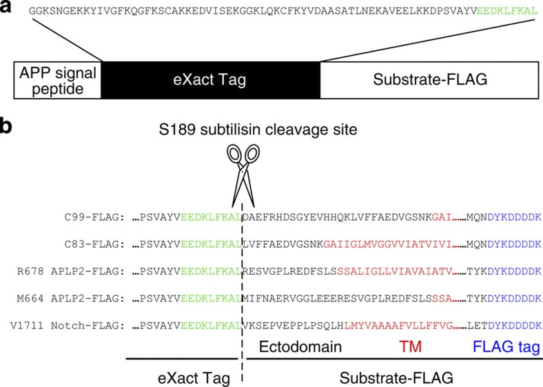 Schematic diagrams of generating γ-secretase substrates. γ-Secretase substrates were expressed as fusion proteins with the APP signal peptide and the Profinity eXact tag (Bio-Rad) in sf9 cells ( a ). The Profinity eXact tag protein purification system offers purification of recombinant proteins with a native amino terminus. Once Profinity eXact-tagged γ-secretase substrates were captured using S189 subtilisin-immobilized resin, addition of sodium fluoride triggered precise cleavage at the carboxyl terminus of the cleavage-recognition sequence (shown in green) and the release of substrates with a bona fide N terminus. Purified substrates were recaptured using anti-FLAG M2 agarose beads (Sigma) and eluted by addition of 0.2 M glycine, pH 2.7 and 0.3% NP40. 1/10th volume of 3 M Tris-HCl, pH 8.0 was added to the eluted substrates for neutralization. The flanking region of the S189 subtilisin cleavage site in each substrate is shown in b .