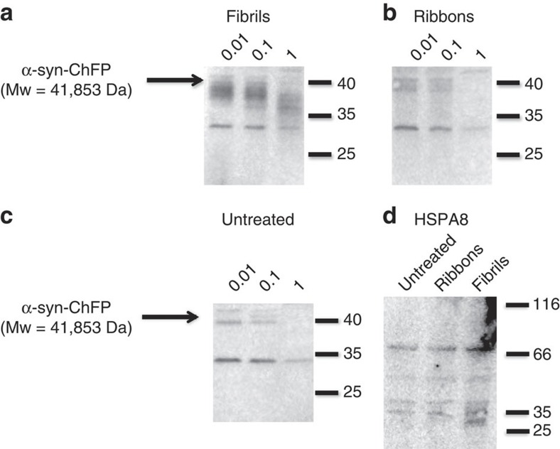 The two α-syn polymorphs imprint their intrinsic architecture to endogenous α-syn upon its recruitment. Western blot analysis of the degradation profiles of the reporter ChFP-tagged α-syn in Neuro 2A cell lysate (corresponding to a cell density of 4 × 10 6 cell per ml) upon exposure of the cells to exogenous α-syn fibrils or ribbons (2 μM monomeric concentration, for example, particle concentration of 0.25 and 2.2 nM for fibrils and ribbons, respectively) in the presence of the indicated concentrations of proteinase K (μg ml −1 ). The samples were analysed on 15% SDS–PAGE. The degradation profile of ChFP-tagged α-syn puncta seeded by α-syn fibrils ( a ) differs very significantly from that of ChFP-tagged α-syn puncta seeded by α-syn ribbons ( b ). Both patterns differ from that of ChFP-tagged α-syn from untreated Neuro 2A cells ( c ). The immunoreactivity of HSPA8 was used as a loading control ( d ). The molecular mass markers (in kilodaltons) are indicated.