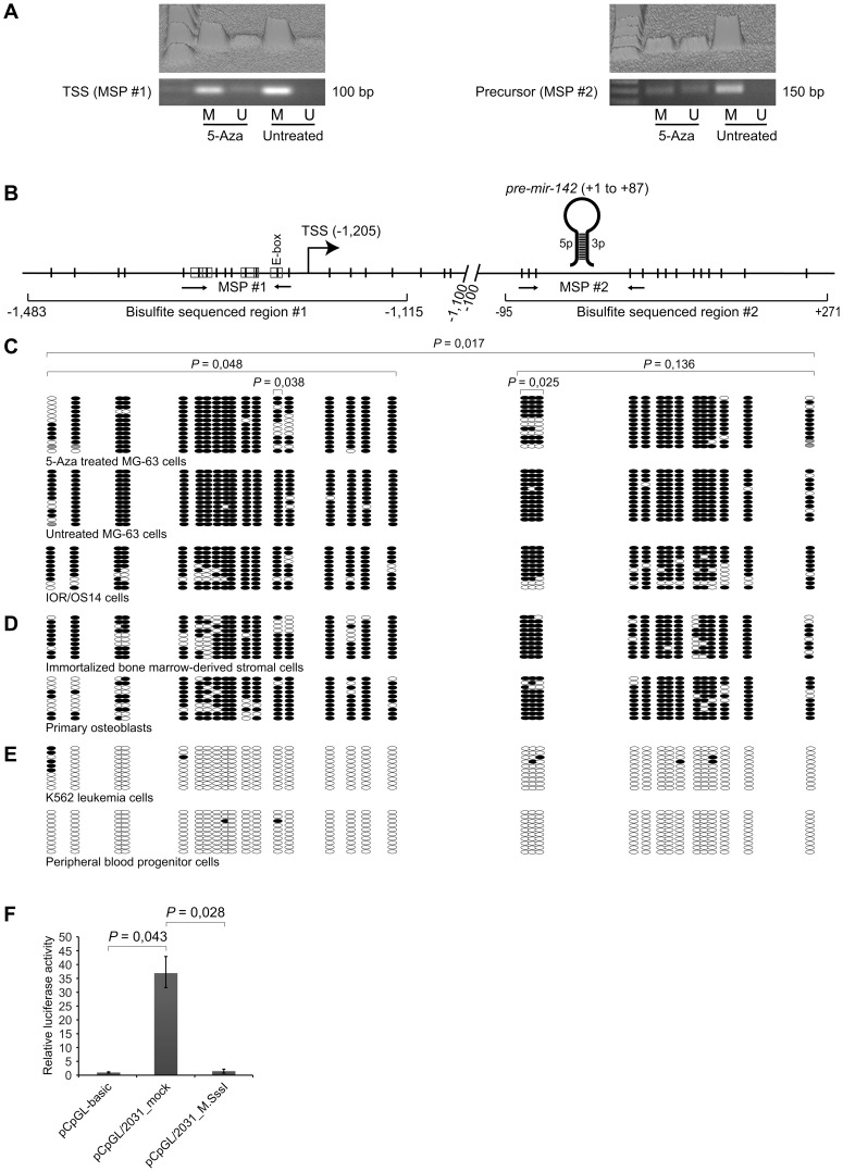 Analyses of methylation status of CGIs associated mir-142 and in vitro methylation of its upstream regulatory region. ( A ) Methylation-specific PCR (MSP) analyses of the CGIs, before and after treatment with 5-Aza-2′-deoxycytidine (5-Aza). U and M, unmethylated and methylated products. Both standard gel images and 3D densitograms of the signal intensities are shown. ( B ) Schematic representation of the mir-142 locus. Locations of MSP amplicon #1 and #2 are indicated by arrows. 18 CpGs (region #1) and 14 CpGs (region #2) were subjected to bisulfite sequencing. CpG-containing transcription factor binding motifs are enclosed by boxes (see Figure 3B for more information). E-box, enhancer box. Numbers indicate the position relative to pre-miR-142 (+1 to +87). ( C ) Bisulfite sequencing of DNA from MG-63 cells before and after treatment with 5-Aza for 72 hours, and untreated IOR/OS14 cells. The Wilcoxon signed rank test was used to test for statistical differences between treated and untreated MG-63 cells, as described in more details in Materials and Methods . A P value ≤0.05 was considered as significant. ( D ) Bisulfite sequencing of immortalized bone marrow-derived stromal cells (iMSC#3) and primary osteoblasts. ( E ) Bisulfite sequencing of K562 leukemia- and peripheral blood progenitor cells. Black and white circles represent methylated and unmethylated CpGs, respectively, and each row represents a single clone. Grey circles, not determined. Ten clones were sequenced (n = 10), with the exception of MG-63 cells (region #1, n = 13; region #2, n = 12). ( F ) The 2,031 bp upstream region of pre-mir-142 was cloned into the promoter-less luciferase reporter construct pCpGL-basic and in vitro methylated with M.SssI (pCpGL/2031_M.SssI) or mock-methylated (pCpGL/2031_mock). All three constructs were individually transfected into U-2 OS cells along with a Renilla reporter construct. The luciferase activity was measured after 48 hours and calculated relative to that of pCpGL-basic (set to 1). Each histogram shows the average relative luciferase activity, and the error bars show the standard deviation of biological experiments (n≥5). The Wilcoxon signed rank test was used to test for statistical differences and the P values are shown above the histograms. A P value ≤0.05 was considered as significant.