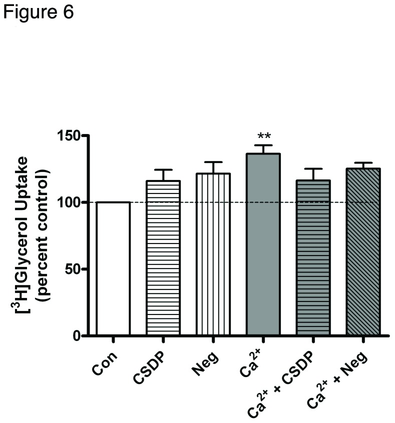 The caveolin-1 scaffolding domain peptide has a minimal effect on calcium-induced glycerol uptake. Keratinocytes were treated for 24 hours with SFKM containing vehicle (0.1% DMS0) or 3 µM caveolin-1 scaffolding domain peptide (CSDP) or the negative control (Neg) in medium containing 25 µM calcium (Con) or 125 µM calcium (Ca 2+ ) as indicated. [ 3 H]Glycerol uptake was then measured as described in Materials and Methods. Values are expressed as the percent control and represent the means ± SEM of 4 separate experiments performed in duplicate; **p