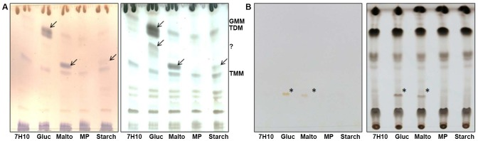 Total lipids analysis of M. ulcerans . A- Lipids from M. ulcerans were separated by TLC using CHCl 3 /CH 3 OH/H 2 O [20∶4∶0.5, by volume] as the solvent system. Lipids were revealed with alpha-naphthol (left panel) or cupric sulfate (right panel) followed by heating. B- Lipids from M. ulcerans were separated by TLC using CHCl 3 /CH 3 OH [98∶2, by volume] as the solvent system. TLC are shown before (left panel) and after revelation with cupric sulfate and heating (right panel). Arrows highlight new lipid forms in the bacteria grown in 7.5% glucose and maltose-enriched media compared to regular 7H10. Gluc, 7H10 glucose; Malto, 7H10 maltose; MP, 7H10 maltopentaose; starch, 7H10 starch. TDM, trehalose dimycolate; TMM, trehalose monomycolate; GMM, glucose monomycolate; MMM, maltose monomycolate. The compound migrating between TMM and TDM in glucose-grown bacteria does not stain with alpha-naphthol indicating that it is not a glycolipid. Its identity was not determined here.