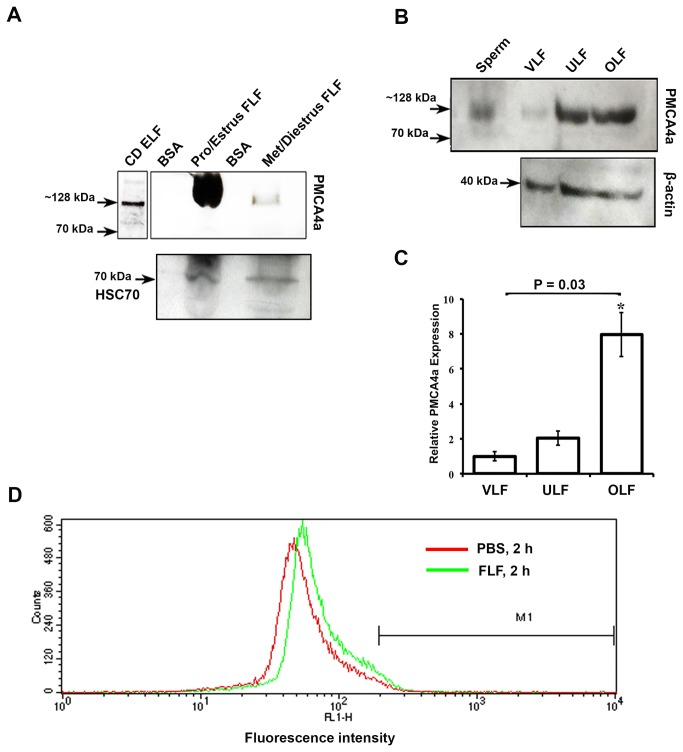 Detection of PMCA4a in reproductive luminal fluids and its acquisition on caudal sperm A ) Representative Western blot of FLFs collected during pro-estrus and estrus and metestrus and diestrus (40 µg proteins loaded). The ~128 kDa PMCA4a is seen in pro-estrus and estrus and is marginally present at metestrus and diestrus. Caudal epididymal luminal fluid was used as a positive control. The membrane was stripped and re-probed for HSC70 as a loading control. B ) Western blots of VLF, ULF, and OLF recovered after superovulation demonstrate the presence of the ~128 kDa PMCA4a. Sperm protein was used as a positive control. The membrane was stripped and re-probed for <t>β-actin</t> as a loading control. C ) Quantitation of Western blot data shown in B; the relative expression was determined using VLF as 1. The data represent the mean (±SEM) of a minimum of three independent experiments, and the intensity was quantified by Image J software. ANOVA and t -tests were performed on the mean and P values were calculated. * P = 0.03 indicates a significantly increase amount of PMCA4a in OLF compared to that in VLF. D ) A peak shift of fluorescence intensity to the right, indicates increase amounts of PMCA4a in sperm incubated in FLF compared to PBS for 2 h and treated as described in Materials and Methods.