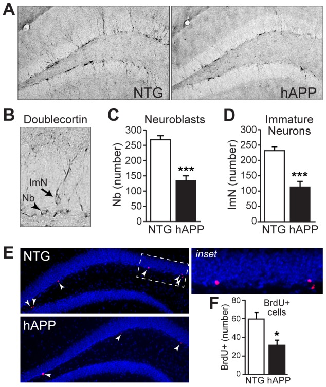 5–7 month old hAPP mice exhibit impairments in neurogenesis. A, Micrographs of doublecortin immunostaining in coronal brain sections from NTG and hAPP mice. B, High magnification micrograph illustrating doublecortin-positive neuroblasts (Nb) and immature neurons (ImN). C–D, Quantification of doublecortin expression demonstrates significant decreases in neuroblasts (C) and immature neurons (D) in hAPP mice relative to NTG controls. E–F, BrdU-labeling of dividing cells in the subgranular zone confirms a decrease in cell division in hAPP mice compared to NTG mice. Arrowheads, BrdU-labeled cells. n = 12/genotype. *p