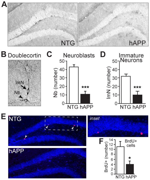 13–15 month old hAPP mice exhibit decreased neurogenesis. A, Micrographs of doublecortin immunostaining in coronal brain sections from NTG and hAPP mice. B, High magnification micrograph illustrating doublecortin-positive neuroblasts (Nb) and immature neurons (ImN). C–D, Quantification of doublecortin expression demonstrates significant decreases in neuroblasts (C) and immature neurons (D) in hAPP mice relative to NTG controls. E–F, BrdU labeling of dividing cells in the subgranular zone demonstrates fewer dividing cells in the subgranular zone of hAPP mice. Arrowheads, BrdU-labeled cells. n = 11–12/genotype. *p