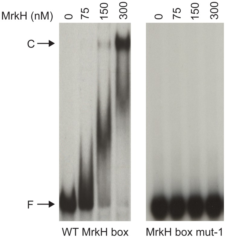 Analysis of MrkH-8×His binding to the wild-type MrkH and mutant mrkA fragments by EMSA. The two mrkA fragments (wild-type and MrkH box mut-1) spanning from −155 and +116 were each amplified and labeled at the 5′ end with 32 P by PCR, using primer pairs 32 P-mrkA116 and mrkA-155. DNA fragments were each mixed with varying amounts of MrkH-8×His in the presence of 50 µM c-di-GMP. Following incubation at 30°C for 20 min, samples were analyzed on native polyacrylamide gels. F: free DNA. C: protein-DNA complex.