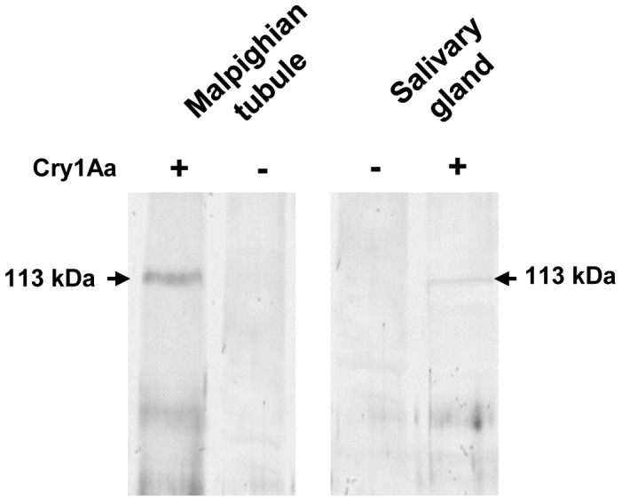 Immunoprecipitation of Cry1Aa toxin interacting protein. Triton X-100 solubilized Malpighian tubule and salivary gland membrane protein fractions (200 µg each) prepared from early fifth instar (5E) larvae were separately incubated with purified activated Cry1Aa toxin (5 µg) followed by further incubation with Cry1Aa polyclonal antibody (2.5 µg). The Cry toxin-interacting protein complex was pull-down with Protein A agarose beads, resolved by 7.5% SDS-PAGE, transferred onto a nitrocellulose membrane, then incubated with A. janata fat body APN polyclonal antibody, followed by incubation with ALP-conjugated secondary antibody and finally developed with NBT-BCIP substrate. Note the detection of a 113 kDa interacting membrane protein in both the tissues. ( − ) and (+) indicate absence and presence of Cry1Aa toxin respectively during incubation.