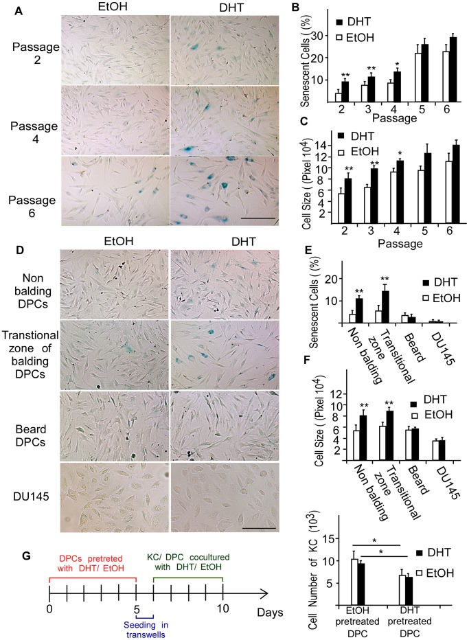 Androgen promotes senescence in earlier-passage DPCs of frontal scalp. DPCs of various origin and DU145 cells were treated with 0.1 µM of DHT for 3 days and then stained for SA-β-Gal 5 days after DHT stimulation. (A–C) Early and late passages of non-balding DPCs are shown for comparison. SA-β-Gal activity increased after DHT stimulation. A quantitative analysis revealed a significant increase in the percentage of senescent DPCs in DHT-treated, earlier-passage groups. DHT-induced premature senescence was also evaluated by measuring cell size. The bar graph shows quantification results. (D–F) DHT accelerated premature senescence in non-balding and transitional zone of balding DPCs only. Scale bar = 200 µm. Values are means ± SDs from three independent experiments (* P