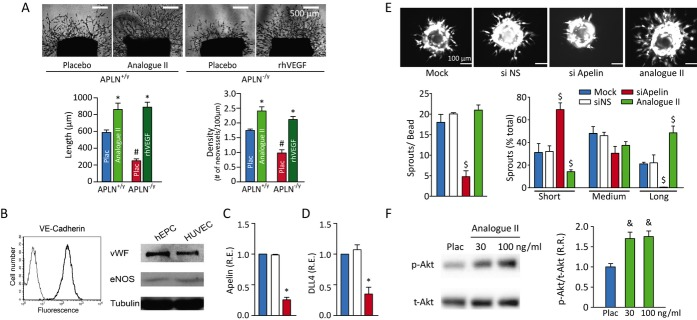 Loss of apelin impairs the in vitro angiogenic response in murine aorta and human endothelial progenitor cells while apelin analogue stimulates angiogenesis. (A) Representative aortic ring cultures from APLN +/y and APLN ‐/y mice showing a marked decrease in sprout length and density which was rescued by supplementation with apelin analogue II (100 ng/mL) and rhVEGF (20 ng/mL). (B) Characterization of the isolated human endothelial progenitor cells (hEPCs) using flow cytometry of the endothelial‐specific marker, VE‐cadherin while Western blot analysis of von Willebrand factor (vWF) and eNOS showed comparable expression with a positive control, human umbilical vein endothelial cells (HUVEC). Transfection of human endothelial progenitor cells with a non‐silencing control siRNA (siNS) or siRNA against apelin (siApelin) resulting in 80% decrease in apelin (C) and DLL4 (D) expression. (E) Representative beads and quantification of sprout length based on tertiles established from mock‐transfected hEPC (Mock) and sprout density showing a drastic reduction in endothelial sprout density and sprout lengthening with knockdown of apelin. Apelin analogue II (100 ng/mL) stimulates endothelial lengthening (E) and increased phospho‐Akt (serine‐473) in hEPCs (F). rhVEGF indicates recombinant human vascular endothelial growth factor; APLN, Apelin; NS, nonsense; p, phospho; t, total; R.R., relative ratio; eNOS, endothelial nitric oxide synthase. Values are mean±SEM; n=5 for each group. * P