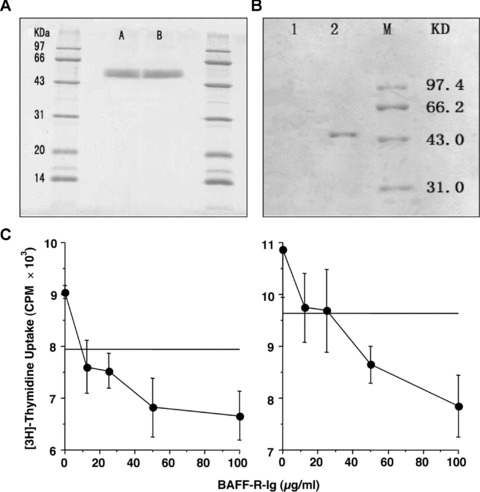 Characterization of BAFF-R-IgG4mut fusion protein. (A) SDS-PAGE analysis. A and B both are loaded with purified BAFF-R-IgG4mut. (B) Western blot analysis with anti-BAFF-R mAb. 1, negative control; 2, BAFF-R-IgG4mut fusion protein; M, molecular weight marker. (C) In vitro bioactivity assay. Purified mouse splenic B cells were stimulated with 5 μg/ml (left side) or 10 μg/ml (right side) of anti-IgM in the presence of 2 ng/ml of BAFF and indicated doses of BAFF-R-IgG4mut fusion protein. B-cell proliferation after 3 days was measured by 3 H-thymidine incorporation in triplicates. B-cell thymidine incorporation by anti-IgM stimulation alone was labelled as a flat line in each side. BAFF-R-IgG4mut alone did not stimulate B-cell proliferation (data not shown).