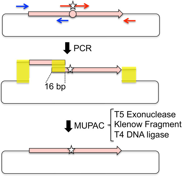 Schematic illustration of the multiple patch cloning procedure.  DNA fragments are amplified by polymerase chain reaction using two sets of oligo-DNA primers (shown in red and blue). The star on the primer indicates the site of mismatch. The resultant DNA fragments and digested vector DNA containing 16 bp homologous regions (shown in yellow) were assembled at 37°C by T5 exonuclease, Klenow fragment and T4 DNA ligase.